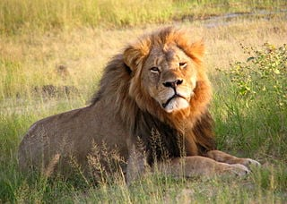 Cecil_the_lion_at_Hwange_National_Park_(4516560206) (1)